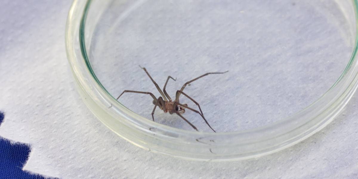"Evite ser ""mordido"" de la araña de rincón: seremi de Salud advierte aumento de estas venenosas"