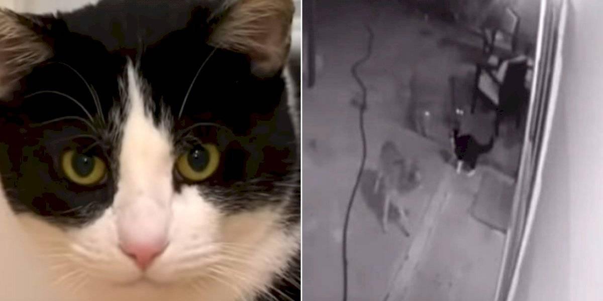 Vídeo de gato corajoso que consegue sobreviver a três coiotes se torna viral