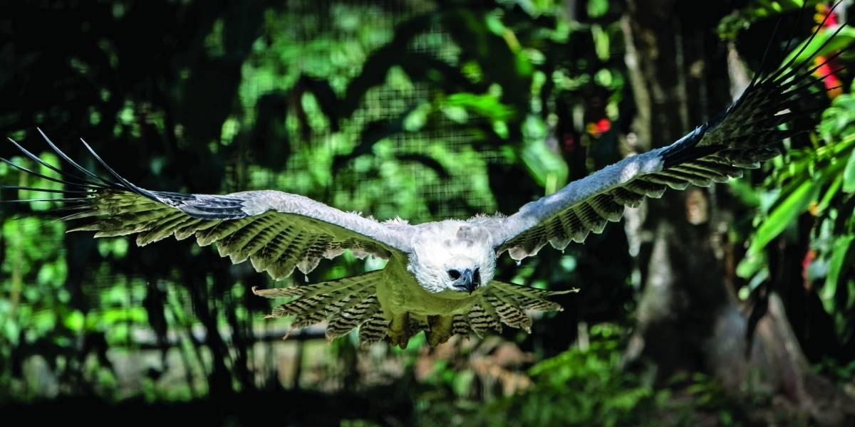 Foz do Iguaçu tem maior centro de reprodução de Harpias em cativeiro no mundo