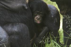 Bebê chimpanzé nasce no Zoológico de São Paulo
