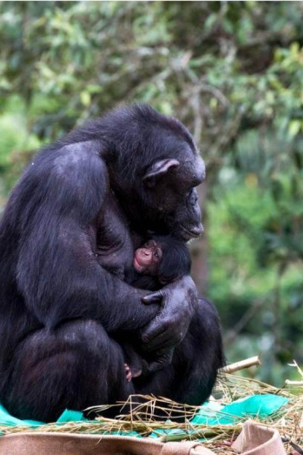 Mamãe e bebê chimpanzé no Zoológico de São Paulo
