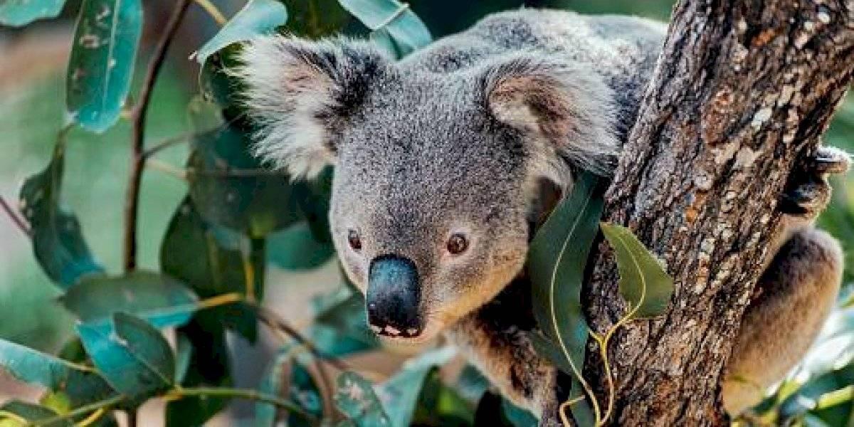 Ha salvado una quincena de marsupiales: así es la historia de Taylor, la perrita que rescata koalas en los incendios en Australia