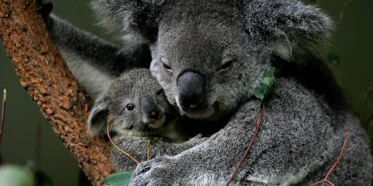 Taylor, la perrita que ayuda a rescatar koalas entre los enormes incendios de Australia