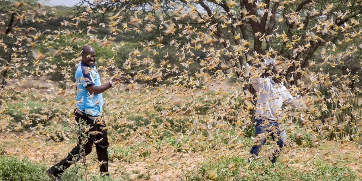 Una amenaza sin precedentes para la seguridad alimentaria: la plaga más grave de langostas en 25 años se extiende por África oriental