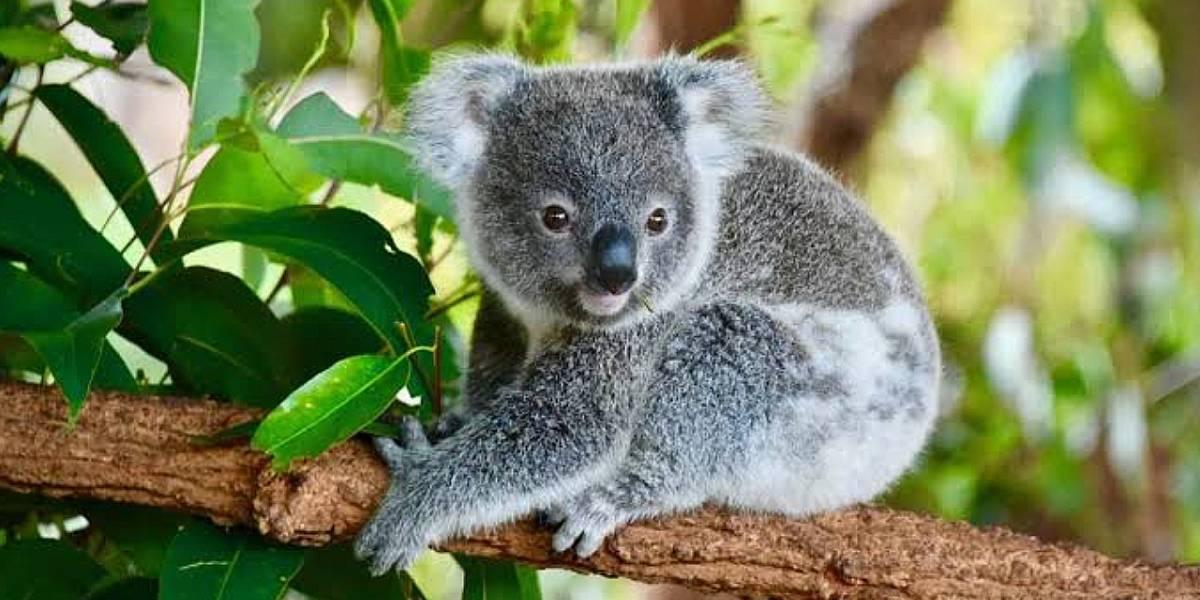 No todo son koalas: Cada año desaparecen miles de especies de animales