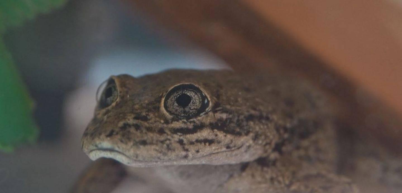 La Rana del Loa ha sido considerada en peligro de extinción