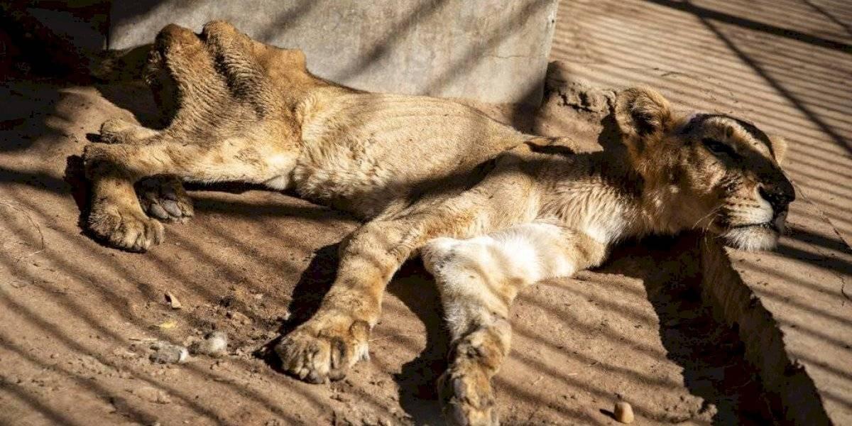 Causa preocupación mundial leones hambrientos en Sudán