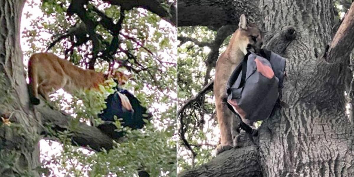 Pai consegue salvar criança de ataque de leão da montanha