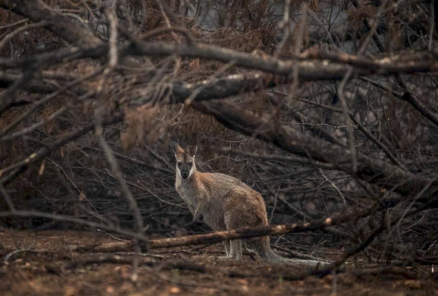 Un Wallaby de cuello rojo que se refugia cerca de matorrales quemados cerca de Cobargo, Nueva Gales del Sur, Australia, 16 de enero de 2020 EFE