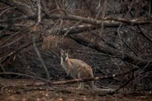 Un Wallaby de cuello rojo que se refugia cerca de matorrales quemados cerca de Cobargo, Nueva Gales del Sur, Australia, 16 de enero de 2020