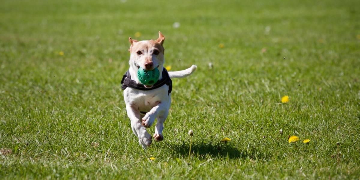 Quito: $84 de sanción por pasear a tu perro sin correa ni identificación