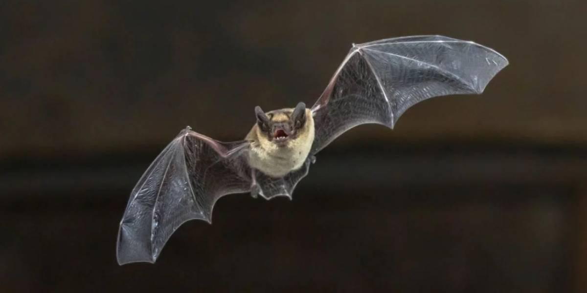 Coronavirus: linaje del SARS-CoV-2 lleva 70 años entre murciélagos