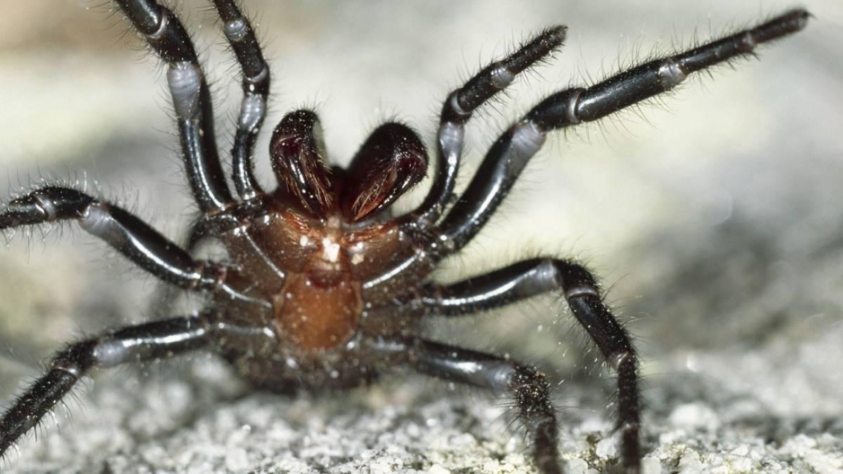 Australia: Araña letal aparece luego de los incendios forestales