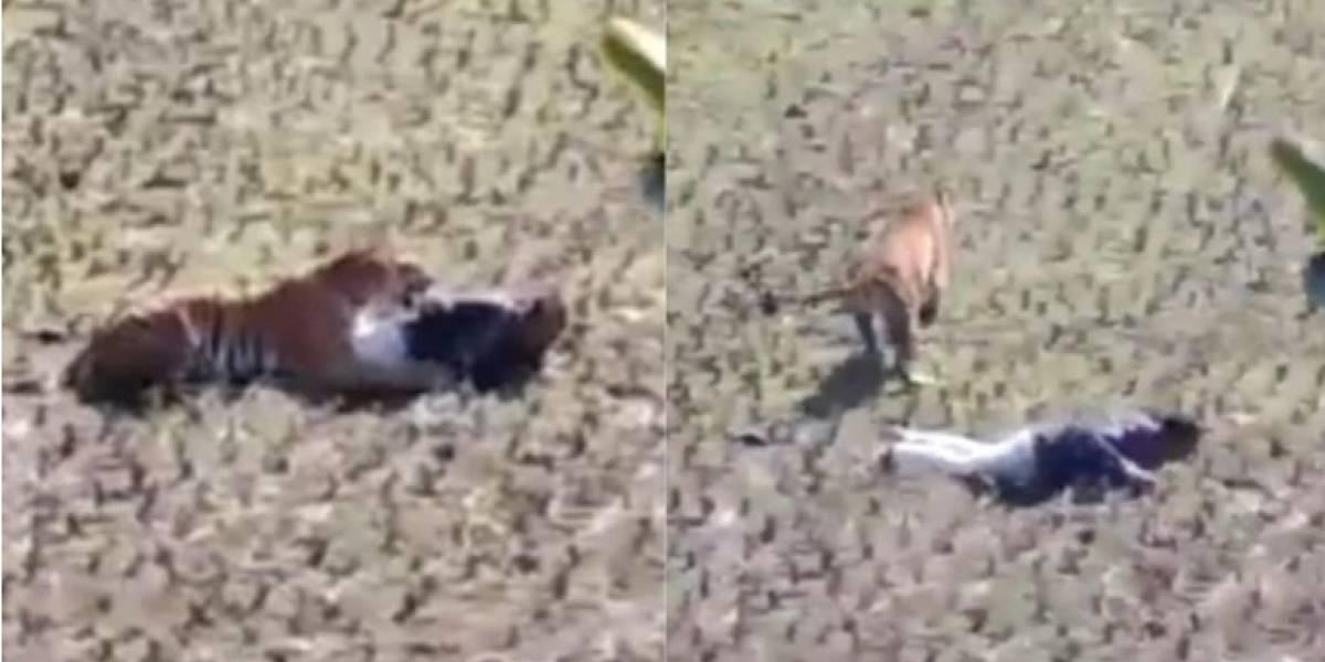 Vídeo de homem que se faz de morto para escapar de tigre se torna viral nas redes sociais