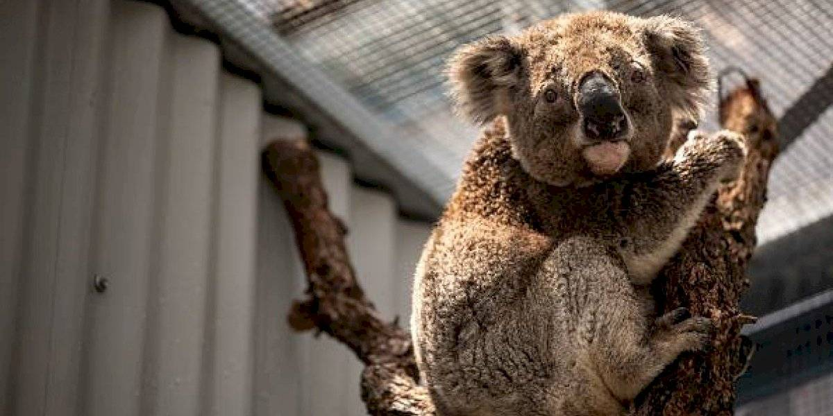 Australia: estrella de televisión propone vender la piel de koalas muertos