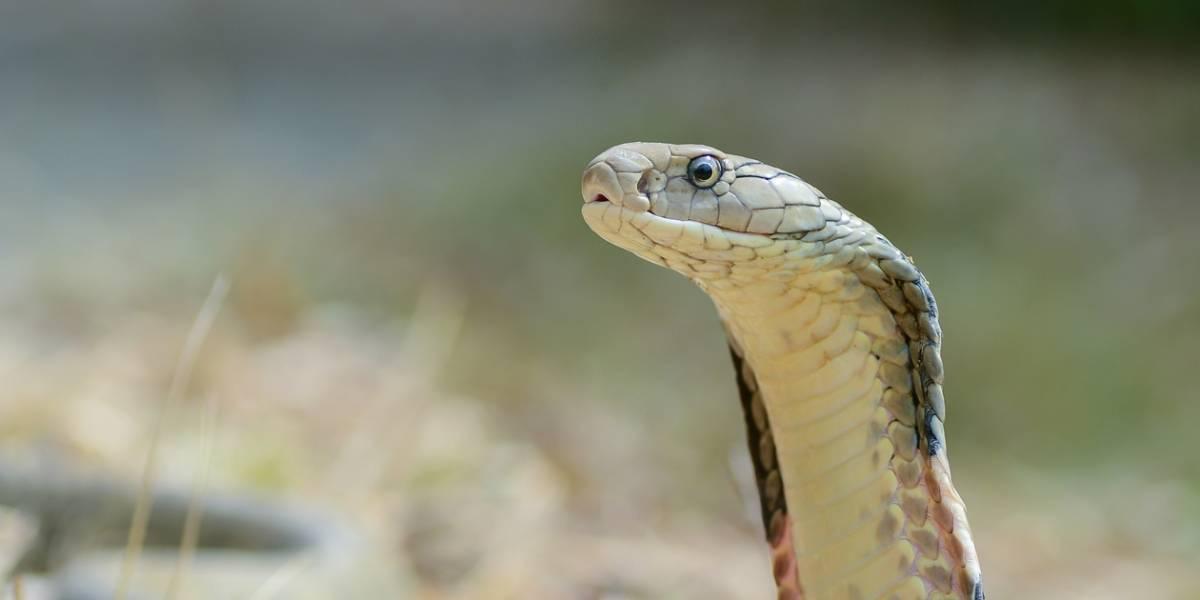 Cobra chinesa pode ser fonte original do coronavírus