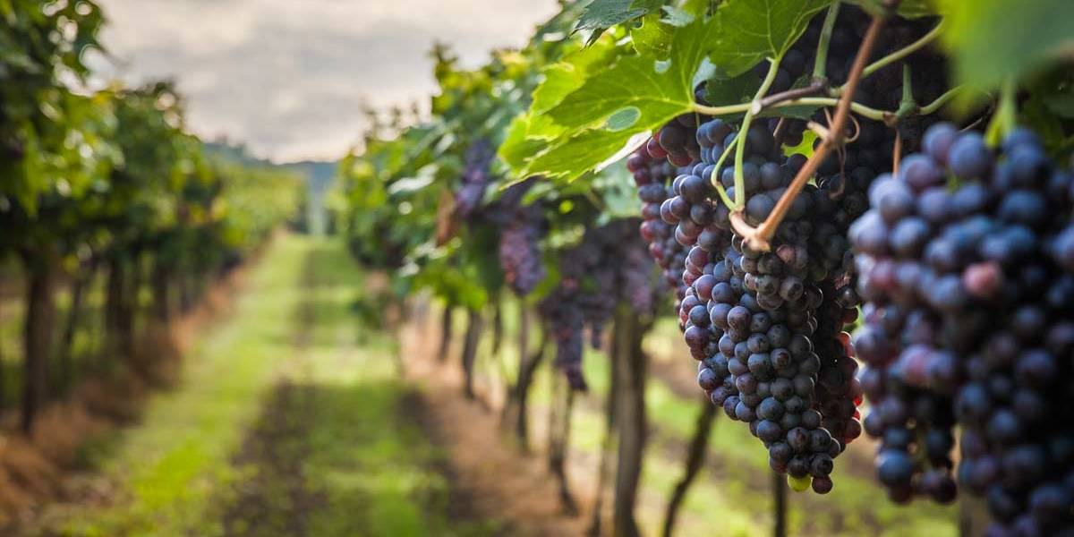 Cambio climático y altas temperaturas podría eliminar a las regiones productoras de uvas, reveló un estudio