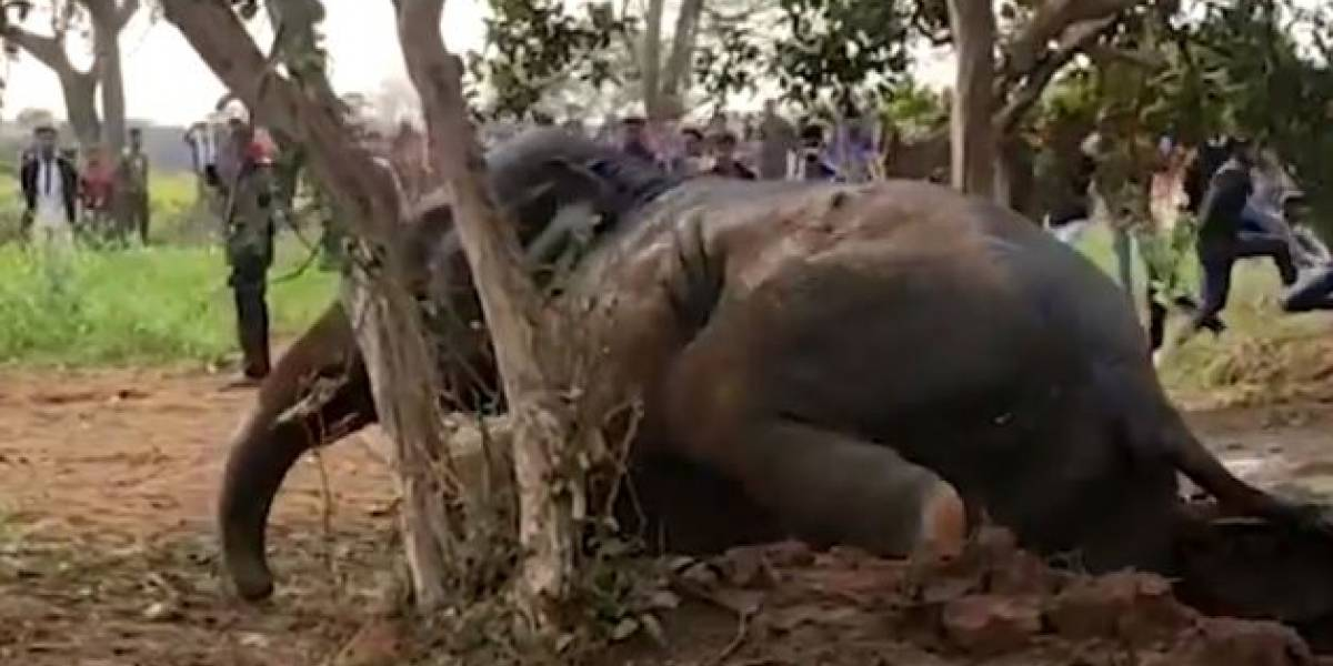 Video de ingenioso rescate a un elefante en India conmueve en Internet