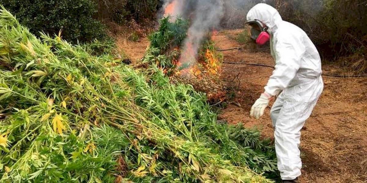 Dron descubrió gran plantación de marihuana mientras inspeccionaba el estado de los incendios forestales