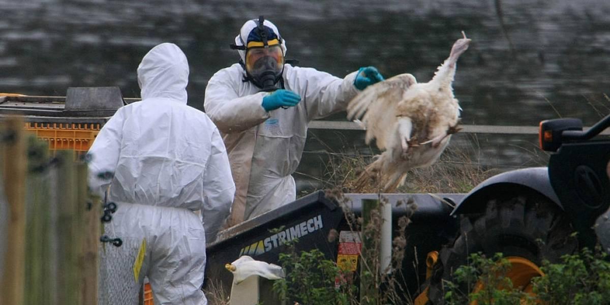 Detectan rebrote de gripe aviar en Filipinas: se decretó cuarentena
