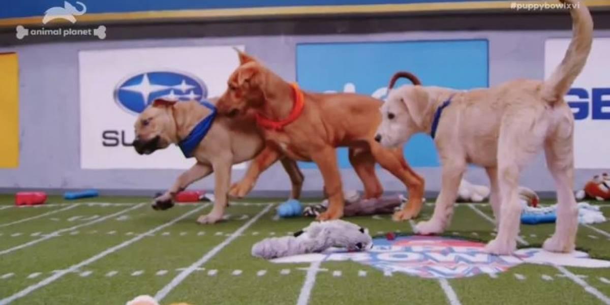 El Puppy Bowl, evento que congrega a casi un centenar de perros en adopción