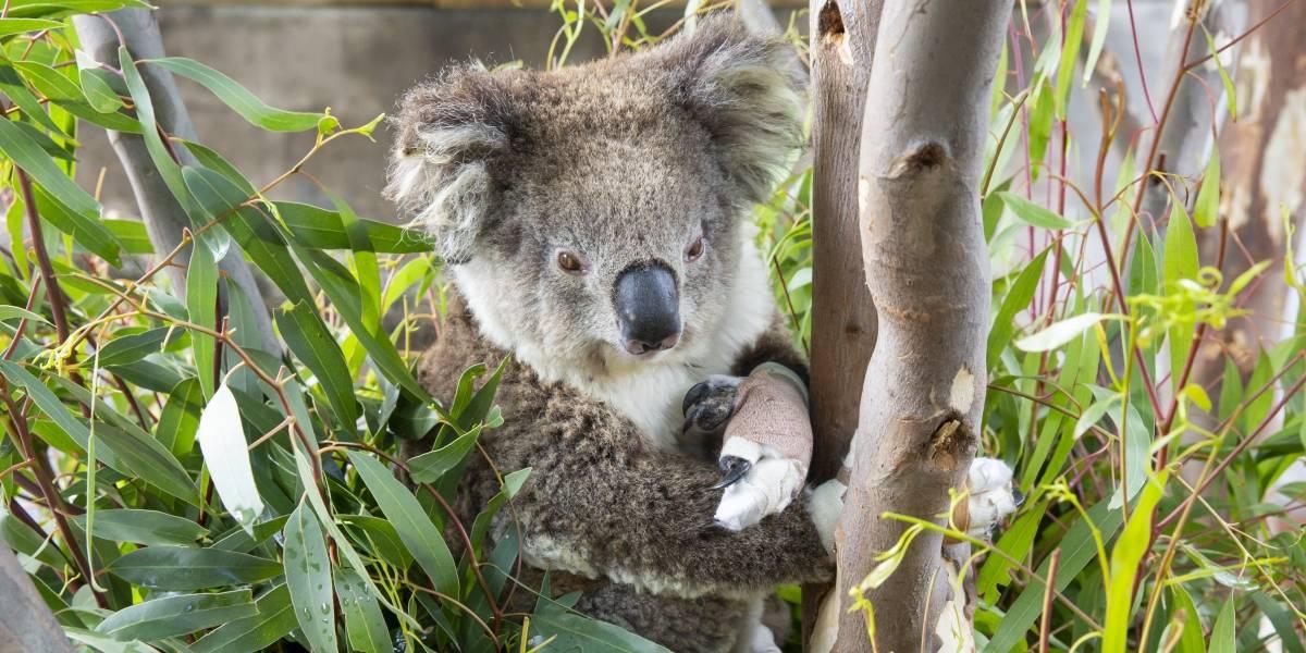 La crisis de los koalas en Australia apenas comienza