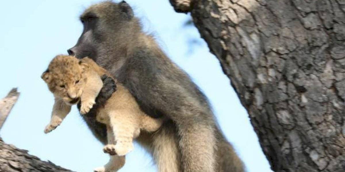 Babuíno rouba filhote e recria cena icônica de 'O Rei Leão'