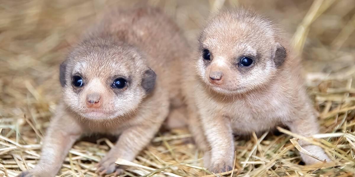Zoológico de Miami da bienvenida a dos crías de suricatas