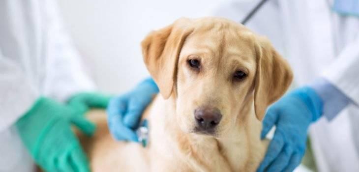 Los perros pueden contraer el coronavirus canino ¿es igual al de Wuhan? Internet