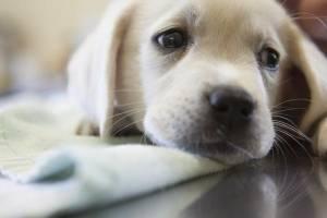 Los perros pueden contraer el coronavirus canino ¿es igual al de Wuhan?