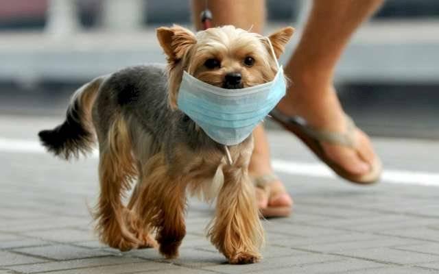 Los perros pueden contraer el coronavirus canino ¿es igual al de Wuhan? Los perros pueden contraer el coronavirus canino ¿es igual al de Wuhan?