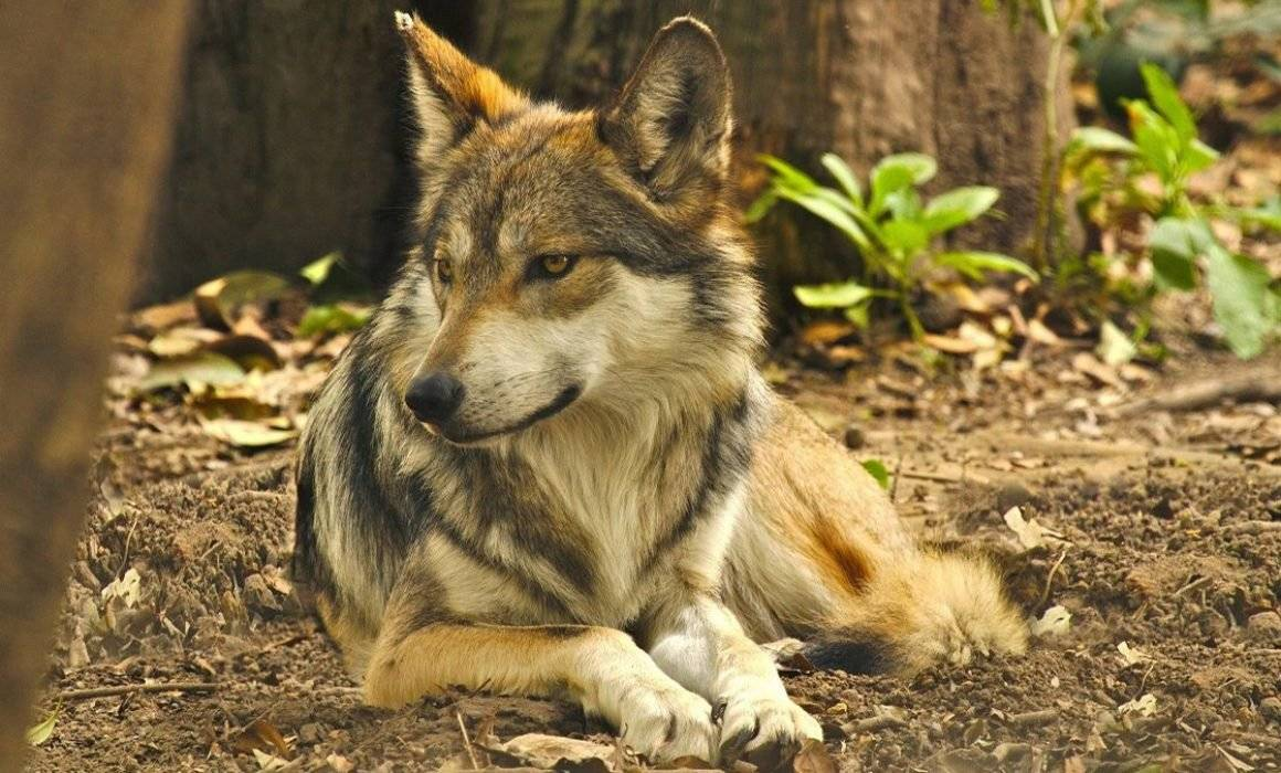 Lobo Mexicano Peligro de extinción