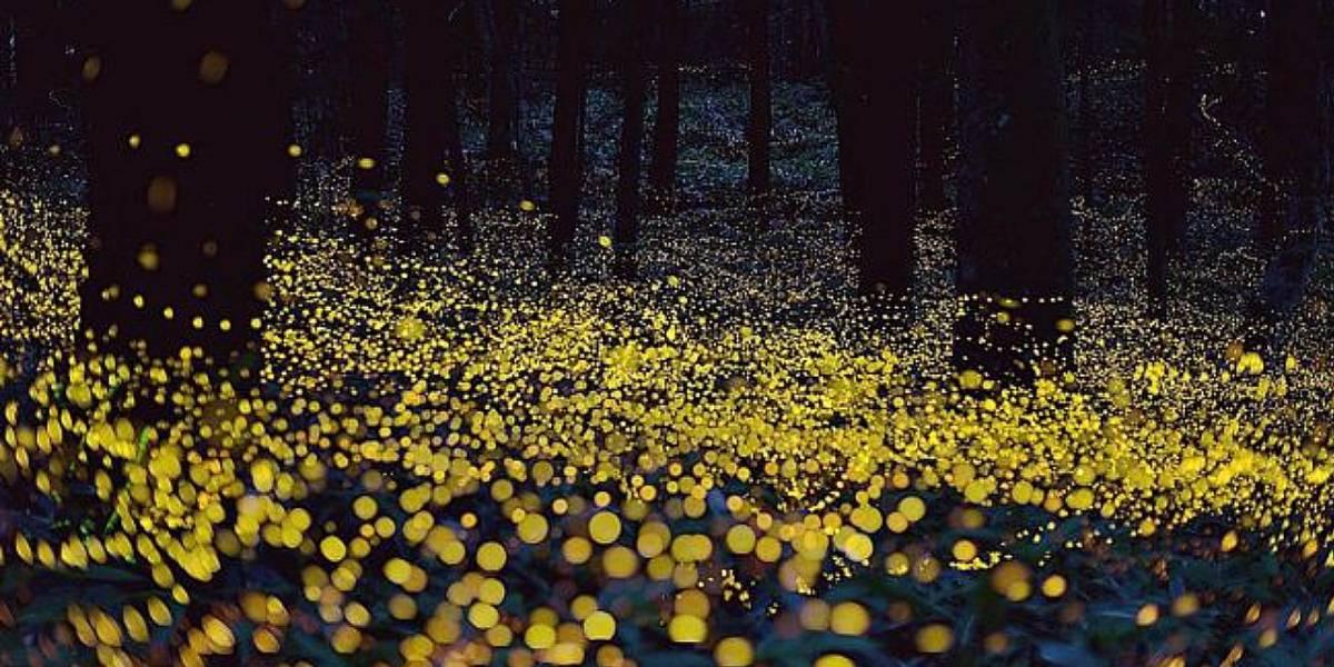 Las luciérnagas se suman a la lista de animales en peligro de extinción
