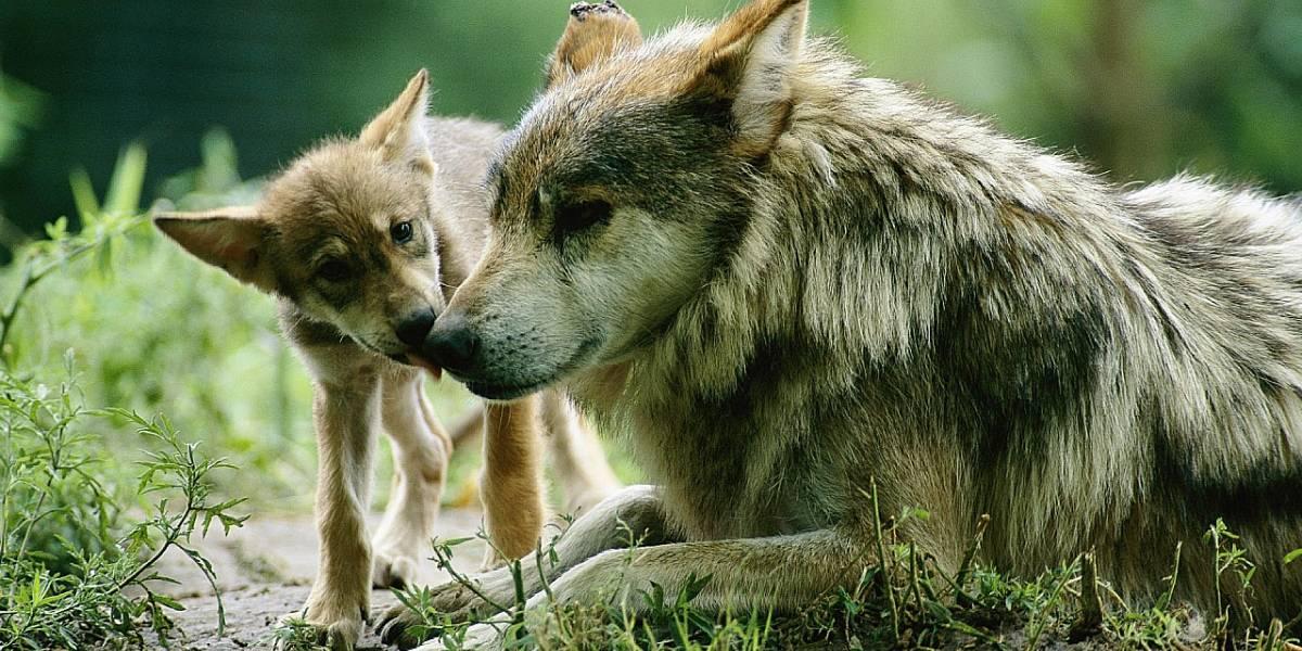 Lobo Mexicano: La WWF lanza campaña de donación para ayudar a esta especie en peligro de extinción