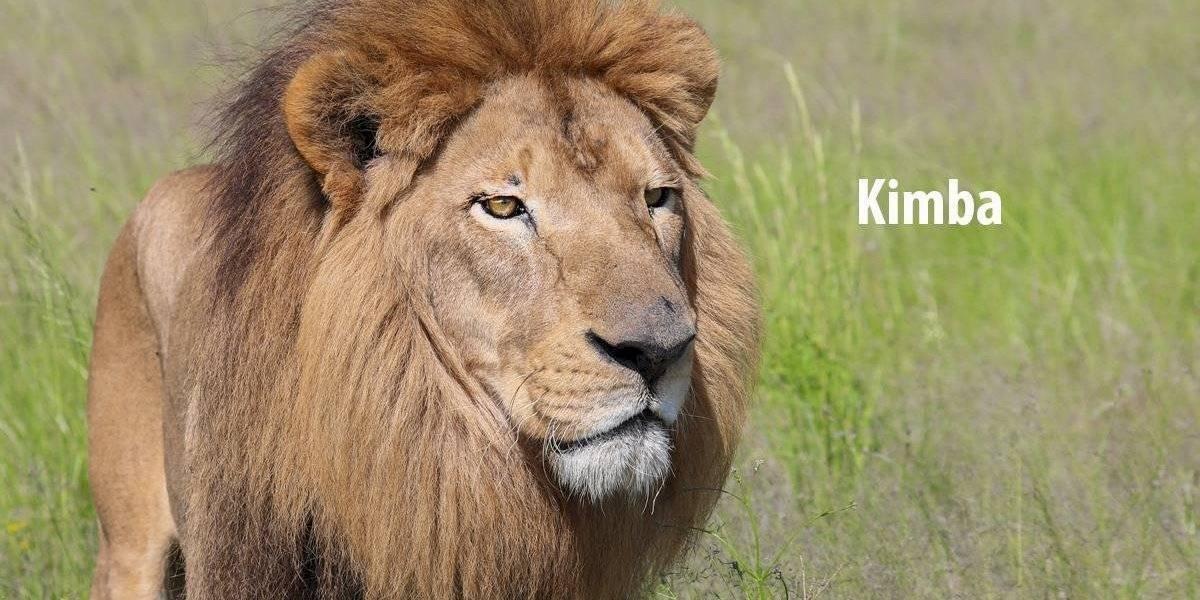 FOTOS: La vida de cinco leones rescatados de circos que ahora viven en Sudáfrica