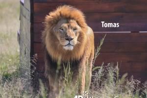 Tomás, león rescatado