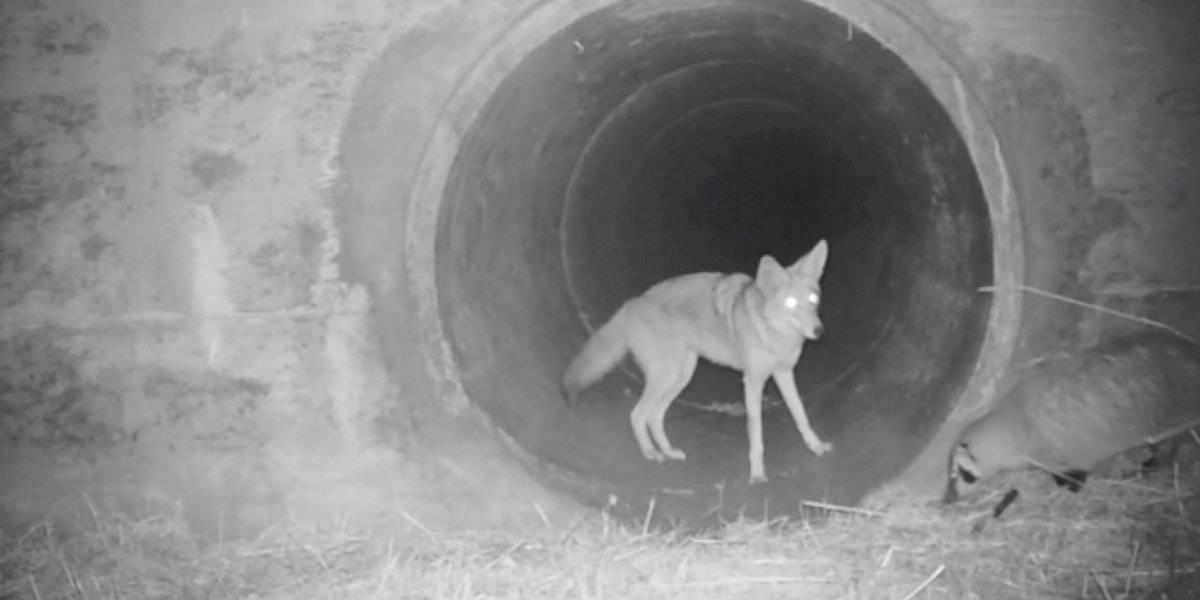 """¿Amigos inesperados? El video de la """"amistad"""" entre un coyote y un tejón que encanta a todos en las redes sociales"""