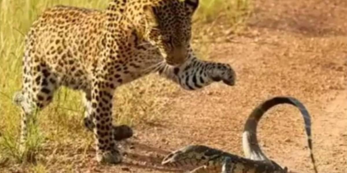 Turistas gravam luta entre filhote de leopardo e lagarto; vídeo se torna viral nas redes sociais