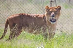 Sasha, leona rescatada