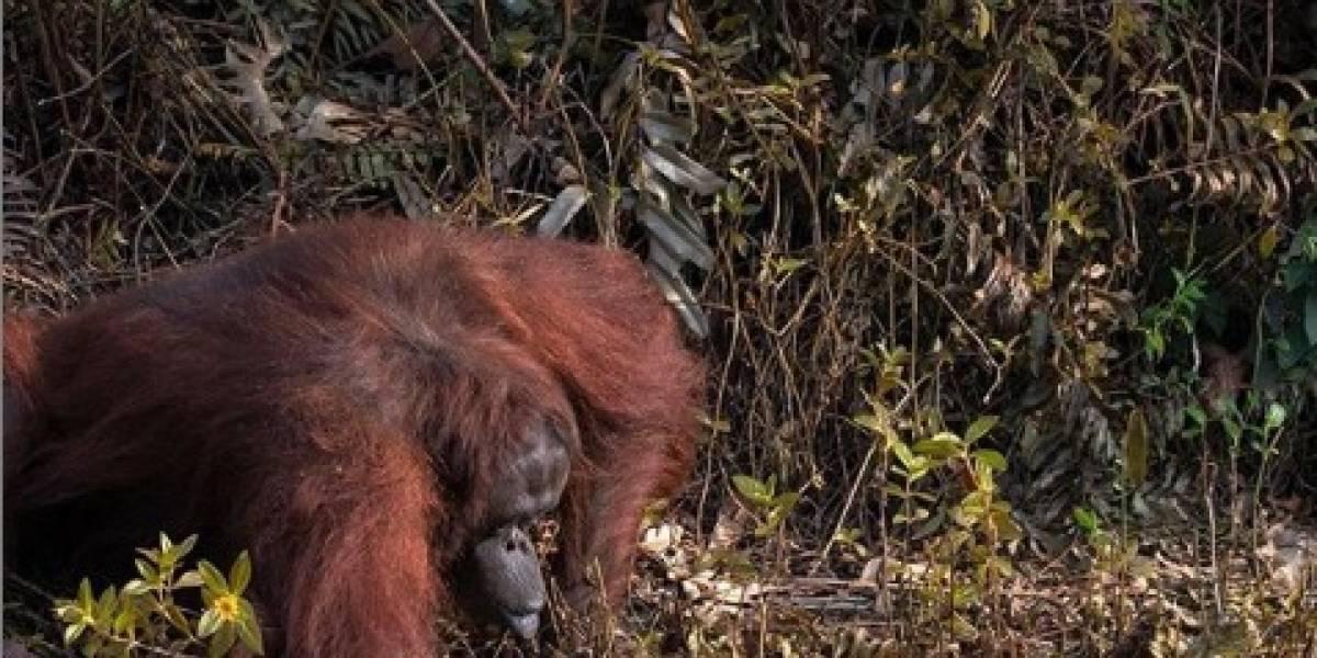 Orangotango tem atitude impressionante para ajudar um homem