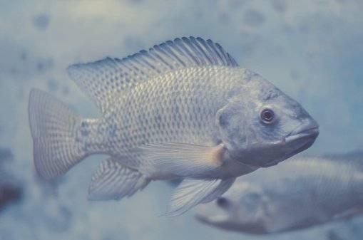 La tilapia, pez de agua, posee varios beneficios médicos