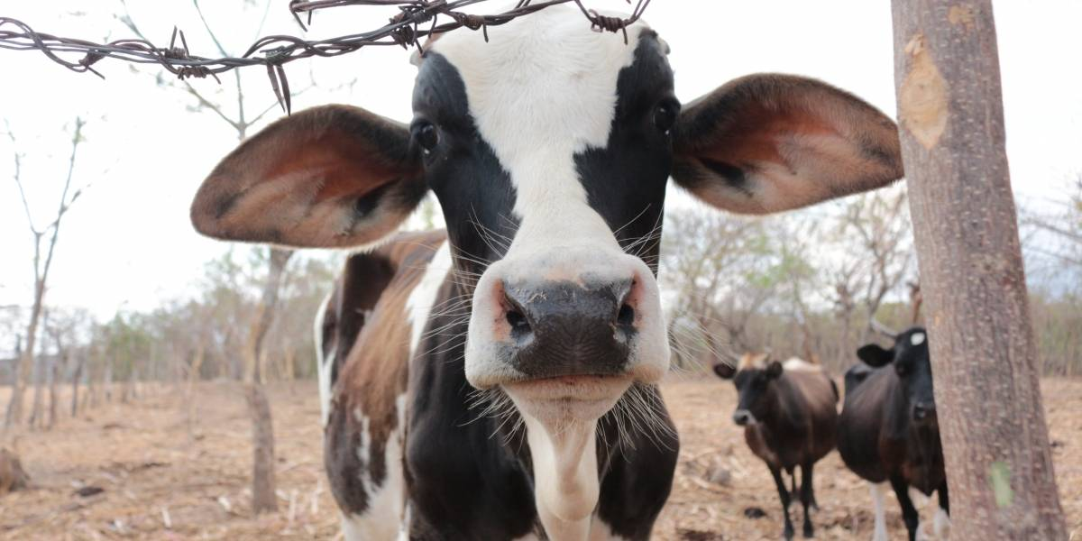 Maga estima iniciar la exportación de ganado a México en los próximos meses