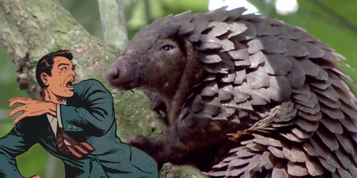 Ni murciélagos ni serpientes: qué es el pangolín y cuál es su relación con el coronavirus