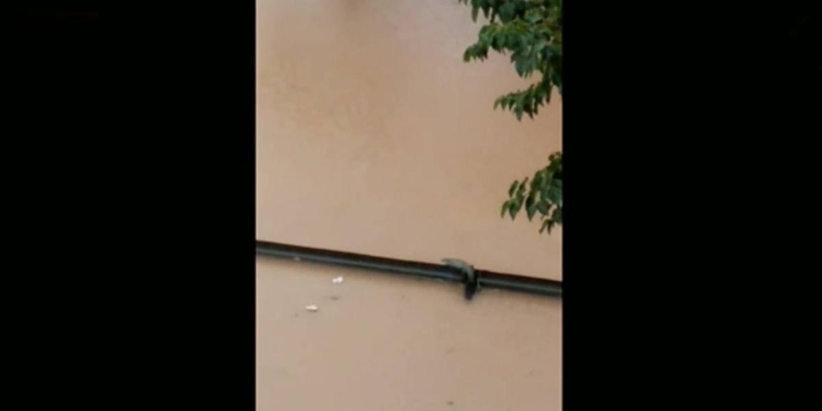 Jacaré aparece durante enchente em Osasco; veja vídeo
