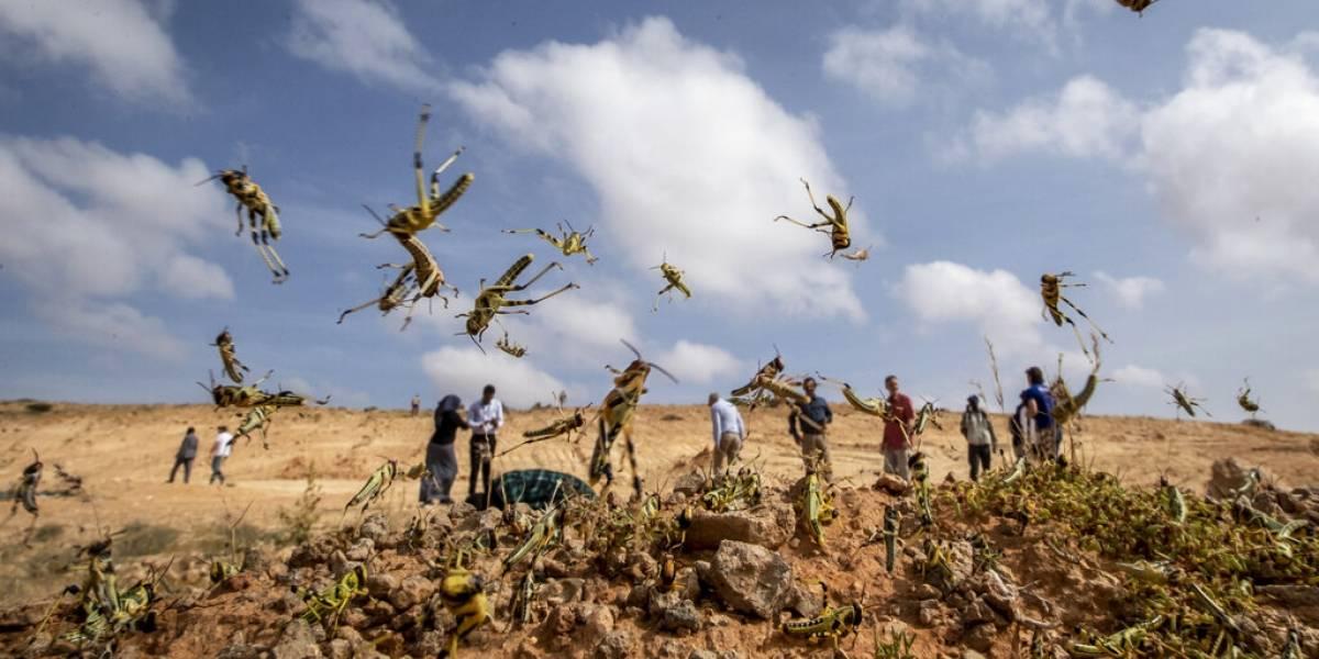 """Millones de personas en peligro: la asquerosa y apocalíptica plaga de langostas que está """"destruyendo"""" África"""