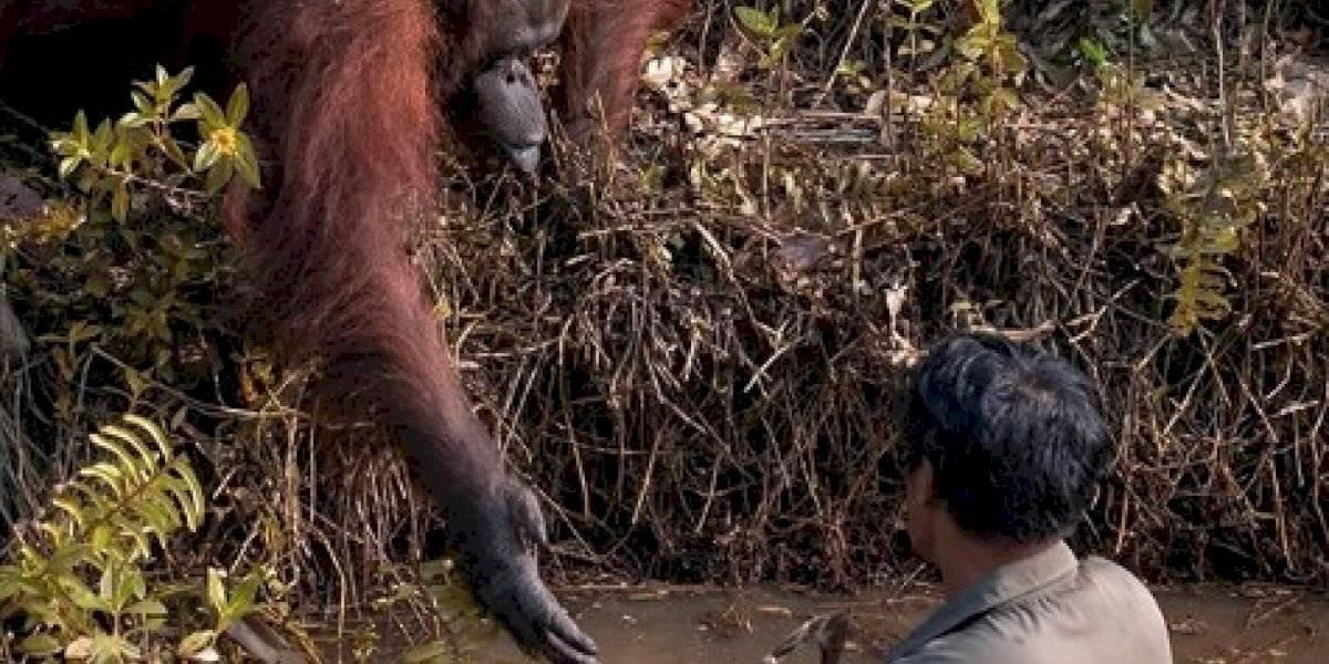 """""""¿Humano puedo ayudarte?"""": fotógrafo captura momento en que orangután le ofrece una mano a un hombre para salir de río infestado de serpientes"""