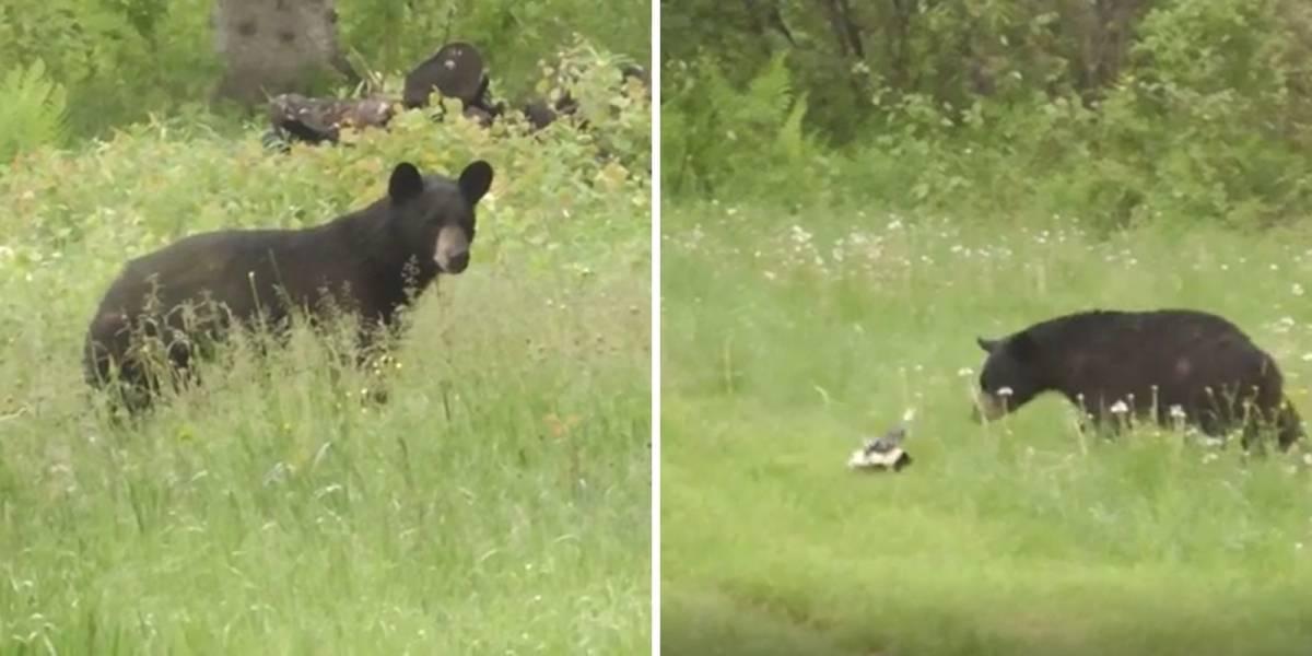 VÍDEO: Gambá valente usa seu cheiro para dar uma lição em urso