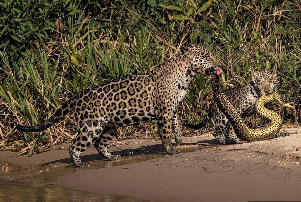 la dramática foto de una madre jaguar con un cachorro enfrentándose a una anaconda