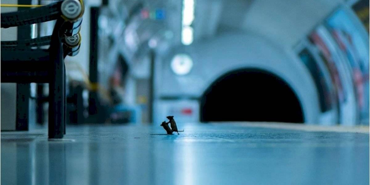 ¿Cómo se logró captar la pelea de dos ratones en un metro de Londres?