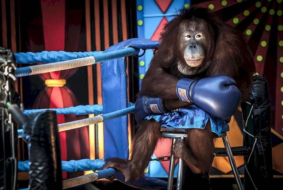 Un desafortunado orangután siendo explotado para un espectáculo